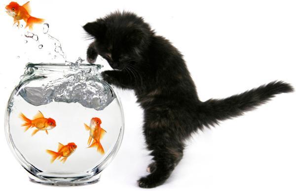 catattackgoldfish